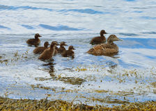 Common eider (Somateria mollissima). Female with ducklings Stock Photos