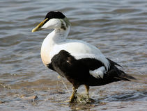 Common Eider trapped in monofilament Royalty Free Stock Photography