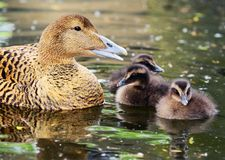 Free Common Eider With Chickens Stock Photos - 13793753
