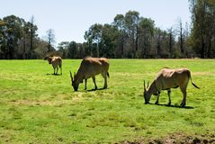 Common Eland Stock Photography