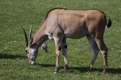 Common eland Royalty Free Stock Images