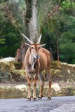 Common Eland. The Common Eland (Taurotragus oryx), also known as the Southern Eland or Eland antelope, is a savannah  and plains  antelope  found in East and Stock Image