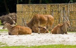 Common Eland Stock Image