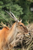 Common eland Royalty Free Stock Photography