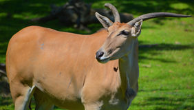 The common eland. Also known as the southern eland or eland antelope, is a savannah and plains antelope found in East and Southern Africa. It is a species of Royalty Free Stock Photos