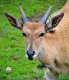 The common eland. Also known as the southern eland or eland antelope, is a savannah and plains antelope found in East and Southern Africa. It is a species of Royalty Free Stock Image