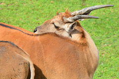 The common eland, also known as the southern eland. Or eland antelope, is a savannah and plains antelope found in East and Southern Africa. It is a species of Stock Images