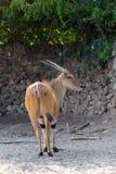 Common eland antilope, onix Royalty Free Stock Photos