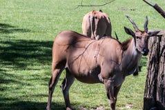 Common eland animals Stock Image