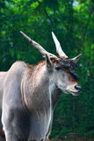 Common Eland Antelope Royalty Free Stock Photos