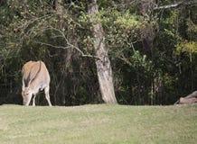 Common Eland Antelope Stock Images