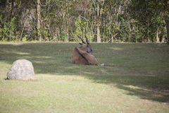 Common Eland Antelope Royalty Free Stock Photography