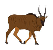 Common Eland - Antelope - Seen from side, walking Royalty Free Stock Photo