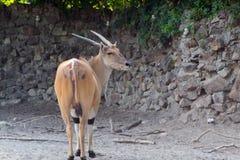 Common eland antilope, onix Stock Image