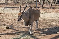 COMMON ELAND CHEWING Royalty Free Stock Photo