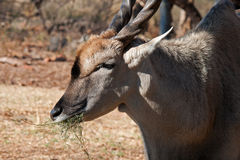 COMMON ELAND CHEWING FODDER Stock Photo