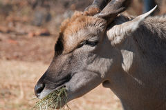 COMMON ELAND CHEWING FODDER Royalty Free Stock Photo