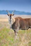 Common eland close up Stock Photography