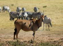 Common Eland, elandantilope, Taurotragus oryx stock image