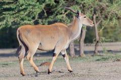 Common Eland Female, Walking, Masai Mara Stock Image