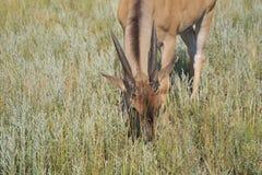 Common Eland Grazes Royalty Free Stock Photos
