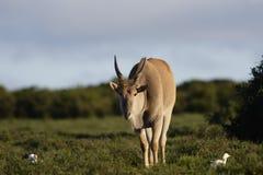 Common Eland grazing, Addo Elephant National Park Royalty Free Stock Photos