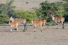 Common Eland Group, Masai Mara, Kenya Stock Photography