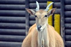 Common Eland Head Closeup stock photos