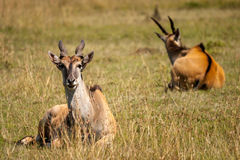 Common Eland Royalty Free Stock Image