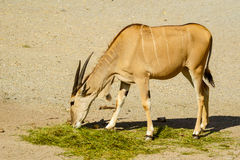 Common Eland Stock Images