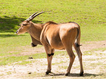 Common eland on pasture - Taurotragus oryx Royalty Free Stock Photography