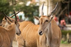 Common Eland, Peace Face Royalty Free Stock Photo