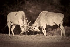Common Eland Rutting, Black and White Royalty Free Stock Photography