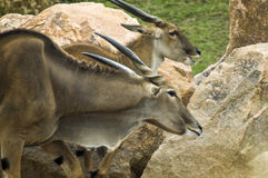 Common eland. A savannah and plains antelope found in East and Southern Africa stock photos