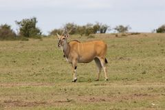 Common Eland (Taurotragus oryx) Stock Photography