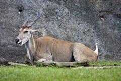 Common eland ,Taurotragus oryx Royalty Free Stock Images