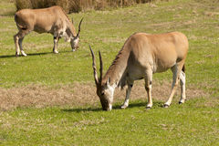 Common eland (Taurotragus oryx) Stock Images