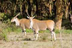 The common eland Taurotragus oryx in Africa savannah nature. The common eland Taurotragus oryx, southern eland or eland antelope, savannah and plains antelope in Royalty Free Stock Image