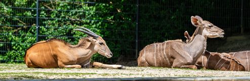 The common eland, Taurotragus oryx is a savannah antelope. The common eland, Taurotragus oryx also known as the southern eland or eland antelope, is a savannah stock photo