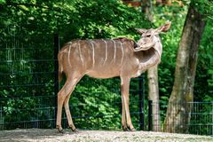The common eland, Taurotragus oryx is a savannah antelope. The common eland, Taurotragus oryx also known as the southern eland or eland antelope, is a savannah royalty free stock photography