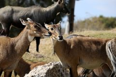 Young Eland Antelope Royalty Free Stock Photography