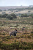 Common Eland (Taurotragus oryx) Stock Photo