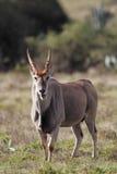 Common Eland (Taurotragus oryx) Stock Photo