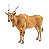 Common eland, Taurotragus oryx, antelope in Africa Stock Images