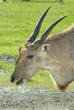 Common Eland (Taurotragus oryx) Royalty Free Stock Photography