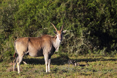 Common Eland (Taurotragus oryx) Stock Photos