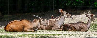 The common eland, Taurotragus oryx is a savannah antelope. The common eland, Taurotragus oryx also known as the southern eland or eland antelope, is a savannah stock images