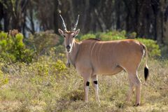 Taurotragus oryx in Africa savannah nature. The common eland Taurotragus oryx, southern eland or eland antelope, savannah and plains antelope in East and Stock Photography