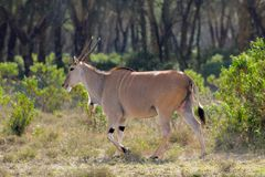 The common eland Taurotragus oryx in Africa savannah nature. The common eland Taurotragus oryx, southern eland or eland antelope, savannah and plains antelope in Royalty Free Stock Photo