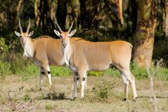 The common eland Taurotragus oryx in Africa savannah nature. The common eland Taurotragus oryx, southern eland or eland antelope, savannah and plains antelope in Stock Photography